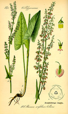 Illustration Rumex arifolius0.jpg