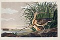 Illustration from Birds of America (1827) by John James Audubon, digitally enhanced by rawpixel-com 231.jpg
