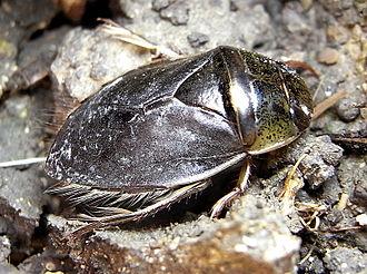 Naucoridae - Ilyocoris cimicoides