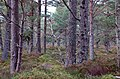 In Rothiemurchus forest - geograph.org.uk - 1564064.jpg