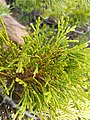 Incense Cedar Broom Rust (34026216400).jpg