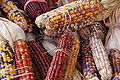 Indian Corn Maize Zea mays 3008px.jpg