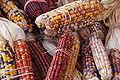 Indian Corn Maize Zea mays 3008px.jpg