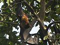 Indian Flying fox with wings stretched in Jamshedpur, India.jpg