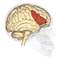 Inferior frontal gyrus - lateral view.png