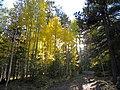 Inner Basin aspen 2009 (5014404829).jpg