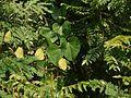 Ipomoea parasitica (Kunth) G. Don (4171292694).jpg