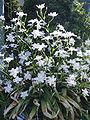 Iris japonica2.jpg