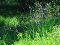 Iris sibirica Bobrovnya6.JPG