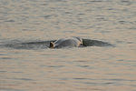 Irrawaddy Dolphin at Sundarban National Park 27102012.jpg