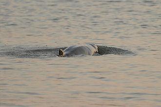 Irrawaddy dolphin - Irrawaddy dolphin at Chilika lake, Odisha, India
