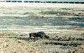 Island fox, San Nicolas Island (26857935685).jpg