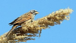 Striolated bunting species of bird
