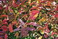 Itea virginica fall color.JPG