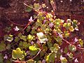 Ivy-leaved toadflax - geograph.org.uk - 179072.jpg