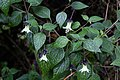 Jaltomata viridiflora (Solanaceae) (45941789202).jpg