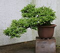 Japanese Privet (Ligustrum obtusifolium) (3505482932).jpg