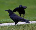 Jardin des Tuileries - Corvus corone.jpg