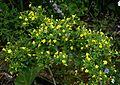 Jasminum fruticans - Flickr - peganum (1).jpg
