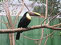 Jielbeaumadier toucan de swainson mjp paris 2013.jpeg