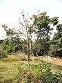Joannesia princeps - Jardim Botânico de Brasília - DSC09714.JPG