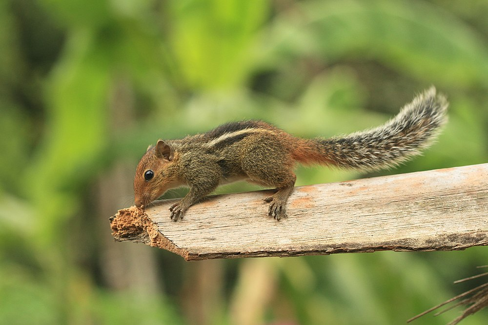 The average litter size of a Jungle palm squirrel is 2
