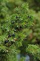 Juniperus communis Finland 2006.jpg