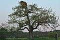 Kühkopf-Knoblochsaue Roter Trierer Weinapfel Tree.jpg