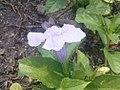 K.Pudur Village slateblue Flower 4.jpg