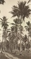 KITLV - 80039 - Kleingrothe, C.J. - Medan - Rare species of coconut palm trees, probably in the botanical gardens in Penang - circa 1910.tif