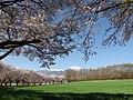 Kabura district cherry trees.JPG