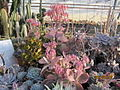 Kalanchoes and other succulents (4508468671).jpg