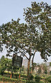 Kanak Champa (Pterospermum acerifolium) tree in Kolkata W IMG 2934.jpg