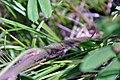 Karner Blue Butterfly Egg on Wild Lupine (28557630646).jpg