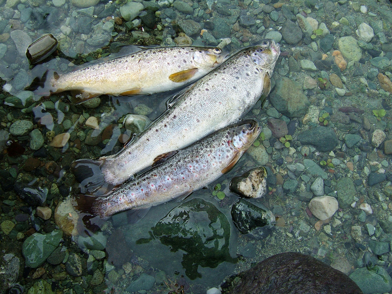 trout caught in a stream
