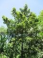 Keeled-pod mangrove (Heritiera littoralis) habit.jpg