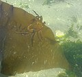 Kelp Crab on Kelp - Flickr - brewbooks.jpg