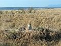 Kenya Keekorok 2013 Cheetah, Safari - panoramio.jpg