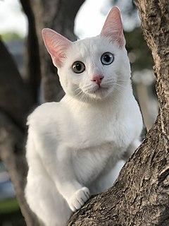 Khao Manee Breed of cat