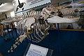 Killer whale squeleton.jpg