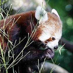 Kleiner Panda.jpg