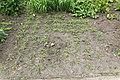 Kluse - Lepidium meyenii - Maca 02 ies.jpg