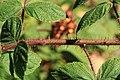 Kluse - Rubus phoenicolasius - Japanische Weinbeere 11 ies.jpg