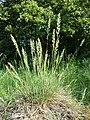 Koeleria macrantha sl24.jpg