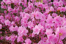 Rhododendron rhododendron mucronulatum 'wheeldon pink' flowers