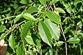 Korina 2015-06-30 Prunus serotina.jpg