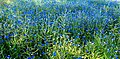 Kornblumen am Feldrand.jpg