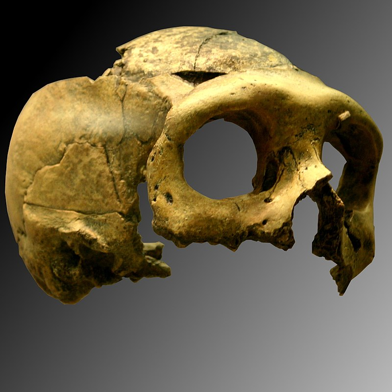 Krapina 3. Homo neanderthalensis.jpg