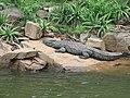 Krokodil blyde.JPG