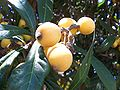 Kumquatbunch.jpg
